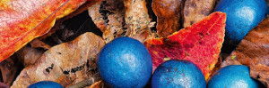 cropped-Quandong_Blue1.jpg ,quandong facts